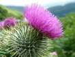 distel / schottland / highlands