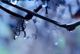 rain in a vineyard poster