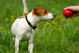 jack russell terrier pet poster