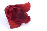 deep red petals - begonia poster