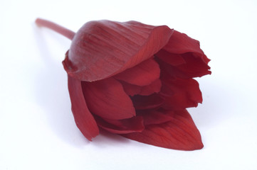 african beauty - begonia