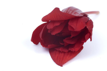 asian beauty - red begonia