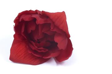 red flower - begonia