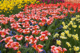 multicolored flower-bed of tulips and narcissi poster