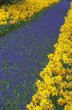 multicolored flower-bed of narcissi and hyacinths poster