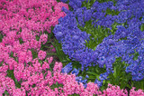 flower-bed of pink and lilac hyacinths poster