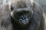 gorilla,ape,primate,natural,animal,nature,africa,e poster
