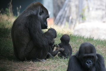 gorilla family with twins