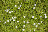small white flowers blooming in the grass poster