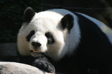 giant panda,panda,bear,mammal,animal,nature,black poster