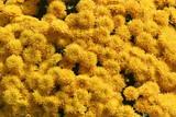 yellow,flower,botanical garden,garden,atlanta,geor poster