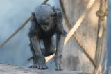 bonobo,primate,ape,chimpanzee,mammal,animal,nature poster