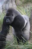 gorilla,silverback,primate,ape,chimpanzee,mammal,a poster