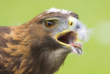 golden eagle feeding poster