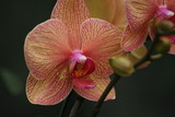 striated orchid poster