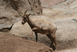 mountain goat,goat,mountain,mammal,animal,nature,t poster