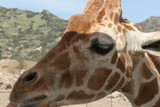 giraffe,mammal,animal,horns,nature,san diego,calif poster
