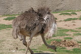ostrich,bird,grey,wing,animal,san diego,earl,robbi poster
