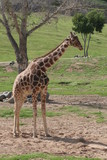 giraffe,mammal,animal,nature,san diego,california, poster