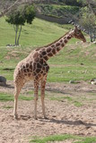 giraffe,mammal,animal,nature,san diego,californ poster