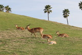 antelope,mammal,animal,nature,san diego,california poster