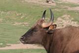 indian water buffalo,india,water  uffalo,bovine,ho poster