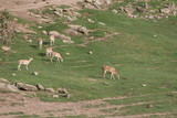 antelope,wild,park,mammal,animal,nature,herd,san d poster
