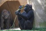 gorilla,primate,ape,chimpanzee,mammal,animal,natur poster