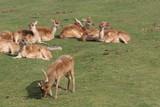 reindeer,rutting,velvet,antlers,wild,park,mammal,a poster