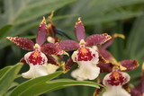 maroon orchid,orchid,maroon,showy,flower,beautiful poster