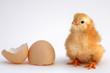 Leinwanddruck Bild - chicken