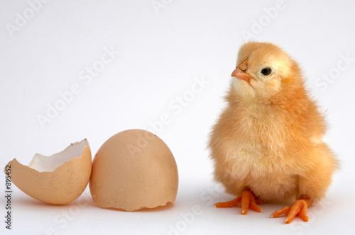 chicken - 895452