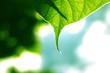 pointed leaf