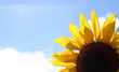 sunflower with sky