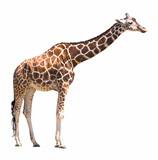 giraffe isolated on white background - Fine Art prints