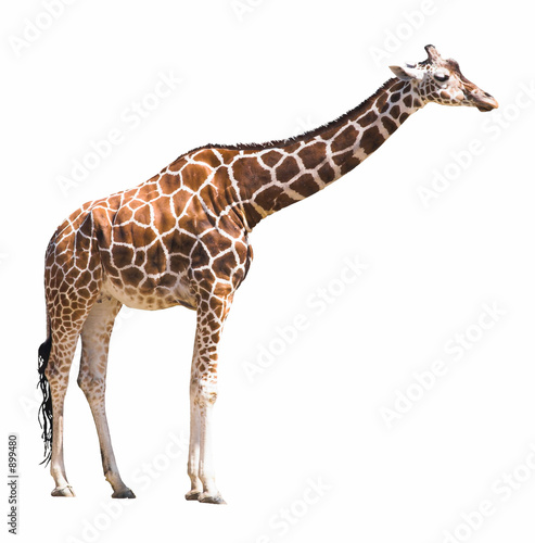 Plexiglas Afrika giraffe isolated on white background