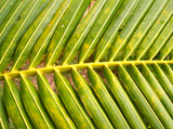 coconut  leaves 1 poster