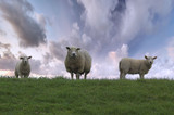 sheep family poster