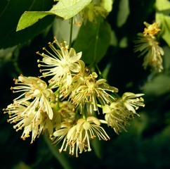 flowers of lime-tree
