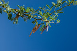 twig with legumes of palo verde poster
