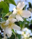 flowers of blooming jasmine shrub poster