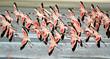 roleta: flamingoes flying low