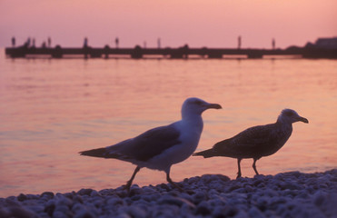 couple of sea-gulls