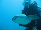 diver holding shark poster