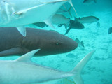 shark in belize poster