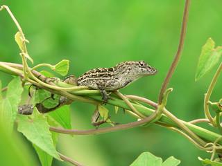 lizard - florida anole