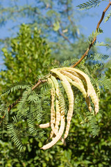 cluster of mesquite pods