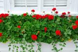 geraniums on window