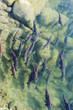 canvas print picture sockeye salmon at spawning grownd