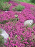 pink flowers - scottish heather poster